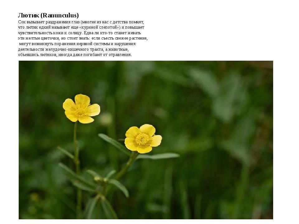 Лютик (Ranunculus) Сок вызывает раздражения глаз (многие из нас с детства пом...