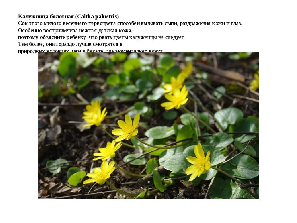 Калужница болотная (Caltha palustris) Сок этого милого весеннего первоцвета с...