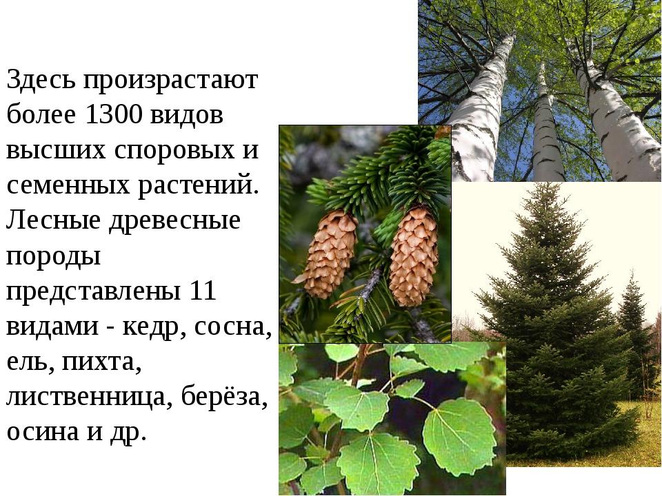 Здесь произрастают более 1300 видов высших споровых и семенных растений. Лесн...