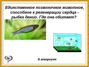 Единственное позвоночное животное, способное к регенерации сердца - рыбка дан