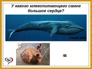 У какого млекопитающего самое большое сердце? Синий кит