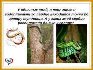 У обычных змей, в том числе и водоплавающих, сердце находится точно по центру