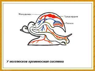 У моллюсков кровеносная система незамкнутая