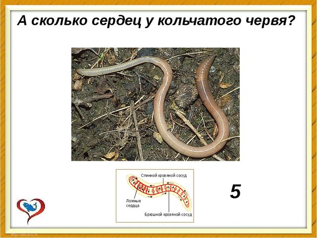 А сколькосердецу кольчатого червя? 5