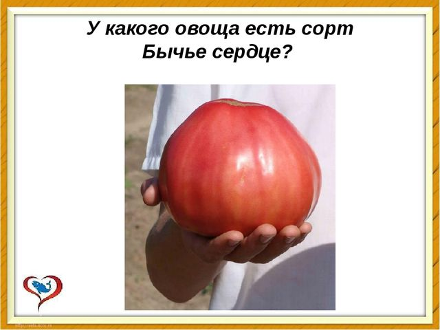 У какого овоща есть сорт Бычьесердце?