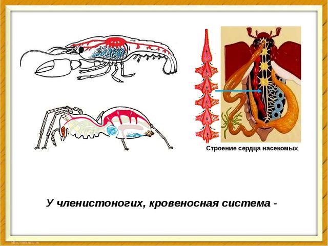 У членистоногих, кровеносная система - тоже незамкнутая Строение сердца насек...