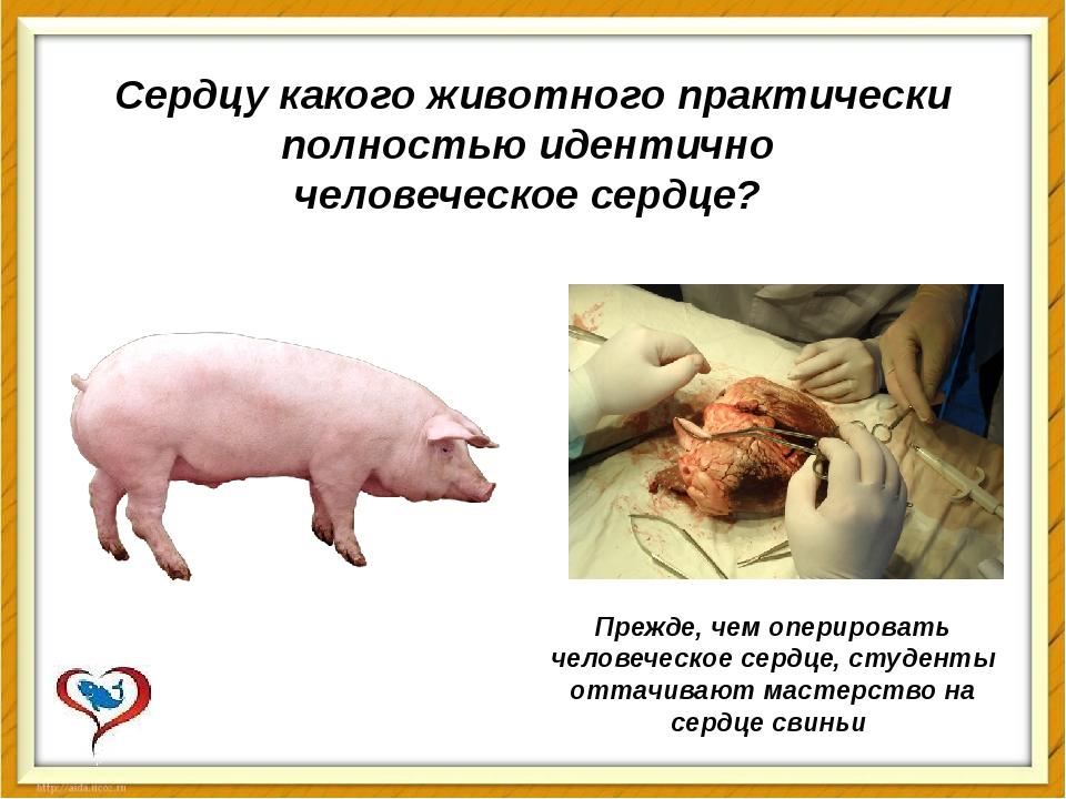 Сердцу какого животного практически полностью идентично человеческое сердце?...