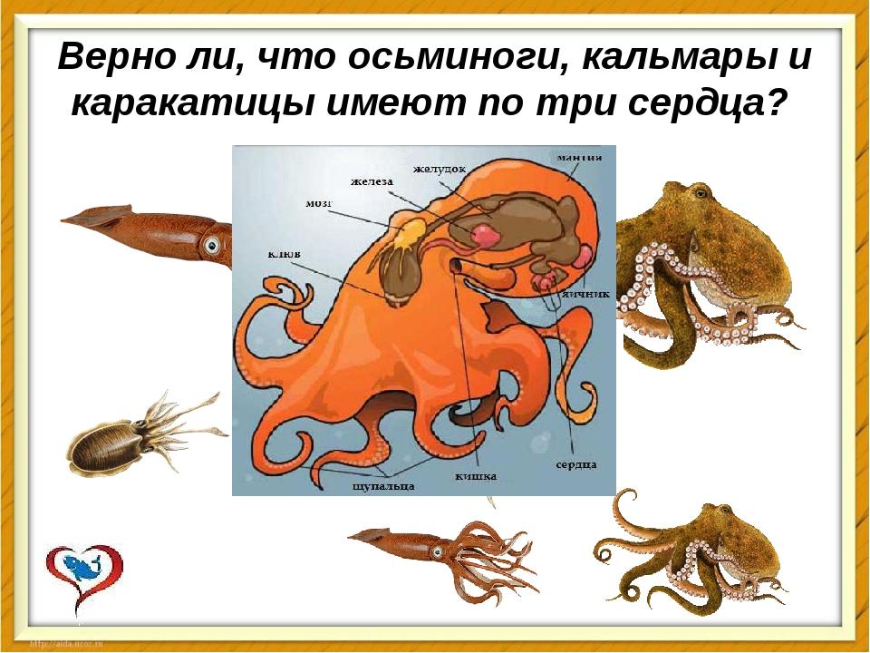 Верно ли, что осьминоги, кальмары и каракатицы имеют по трисердца?
