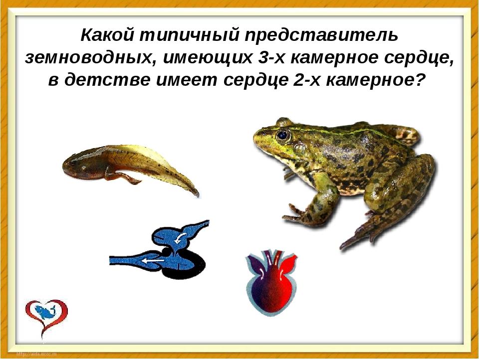 Какой типичный представитель земноводных, имеющих 3-х камерное сердце, в детс...