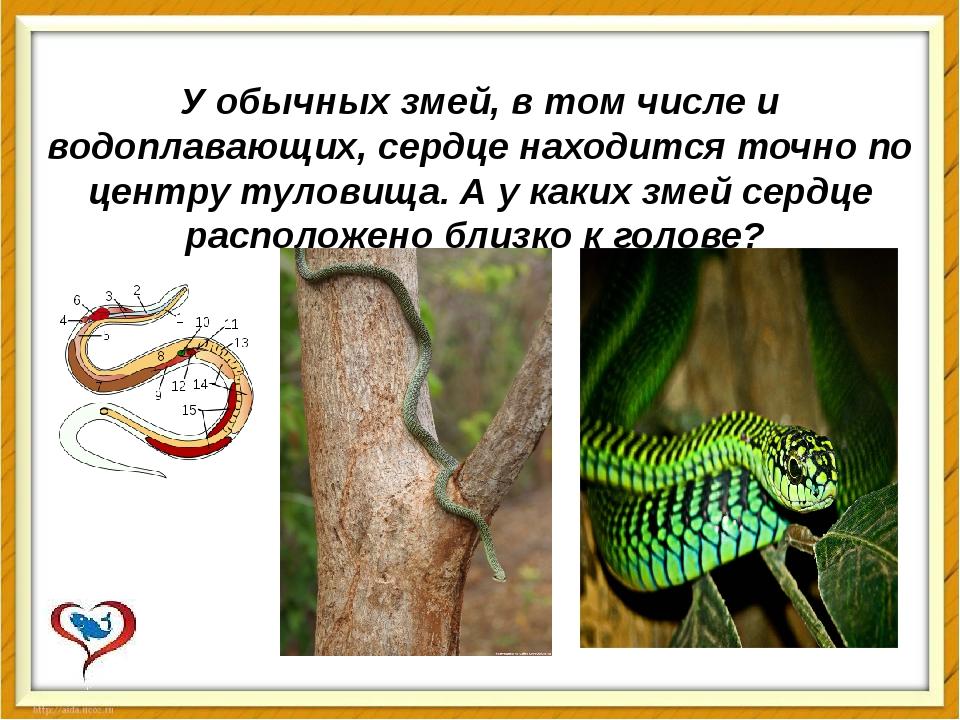 У обычных змей, в том числе и водоплавающих, сердце находится точно по центру...