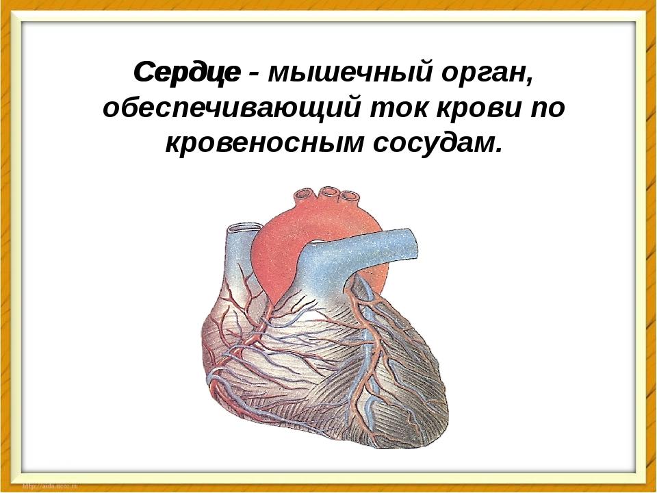 Сердце - Сердце - мышечный орган, обеспечивающий ток крови по кровеносным сос...