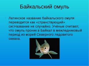 Байкальский омуль Латинское название байкальского омуля переводится как «стра