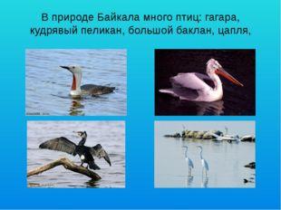 В природе Байкала много птиц: гагара, кудрявый пеликан, большой баклан, цапля,