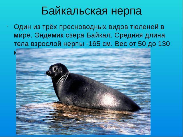 Байкальская нерпа Один из трёх пресноводных видов тюленей в мире. Эндемик озе...