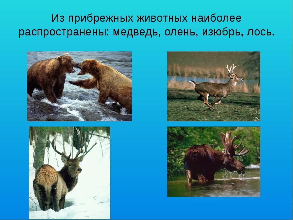 Из прибрежных животных наиболее распространены: медведь, олень, изюбрь, лось.