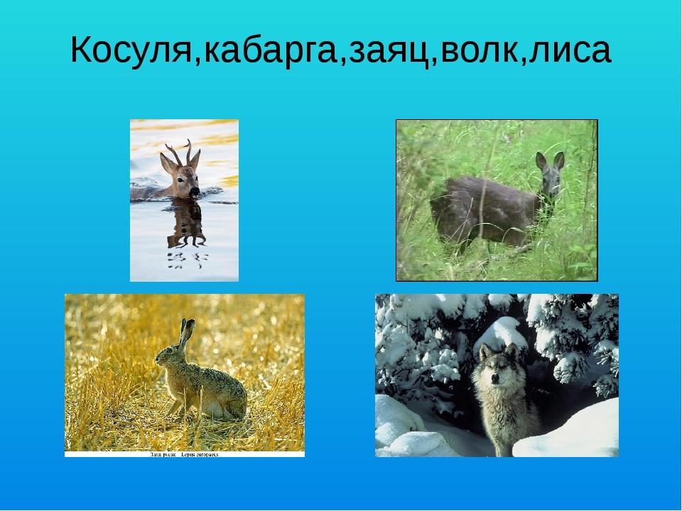 Косуля,кабарга,заяц,волк,лиса