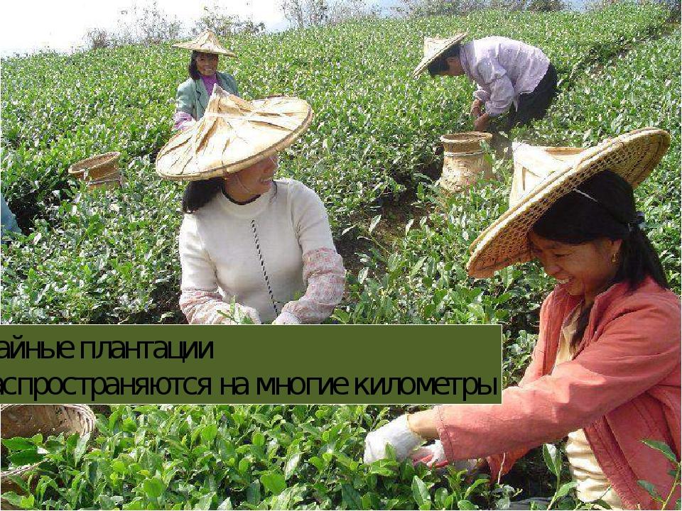 Чайные плантации распространяются на многие километры