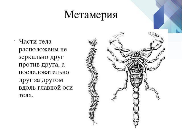 Метамерия Части тела расположены не зеркально друг против друга, а последоват...