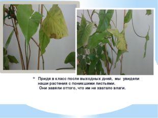 Придя в класс после выходных дней, мы увидели  наши растения с поникшими л