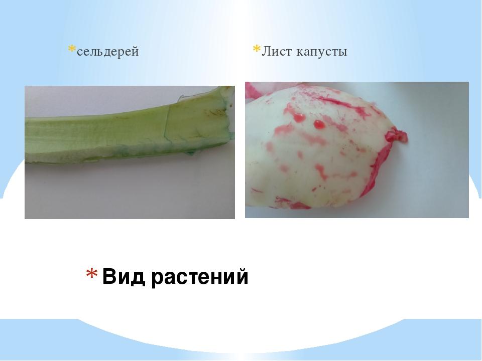 сельдерей Лист капусты Вид растений