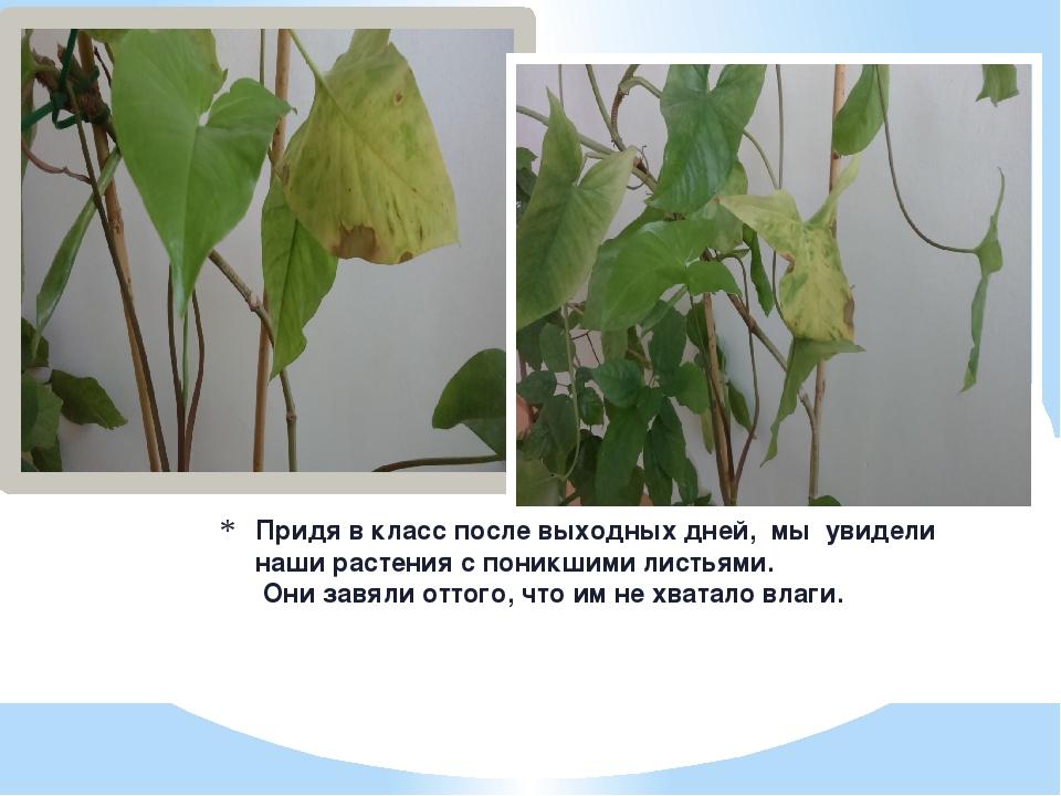 Придя в класс после выходных дней, мы увидели  наши растения с поникшими л...