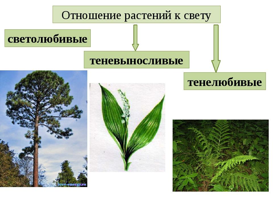Отношение растений к свету светолюбивые теневыносливые тенелюбивые