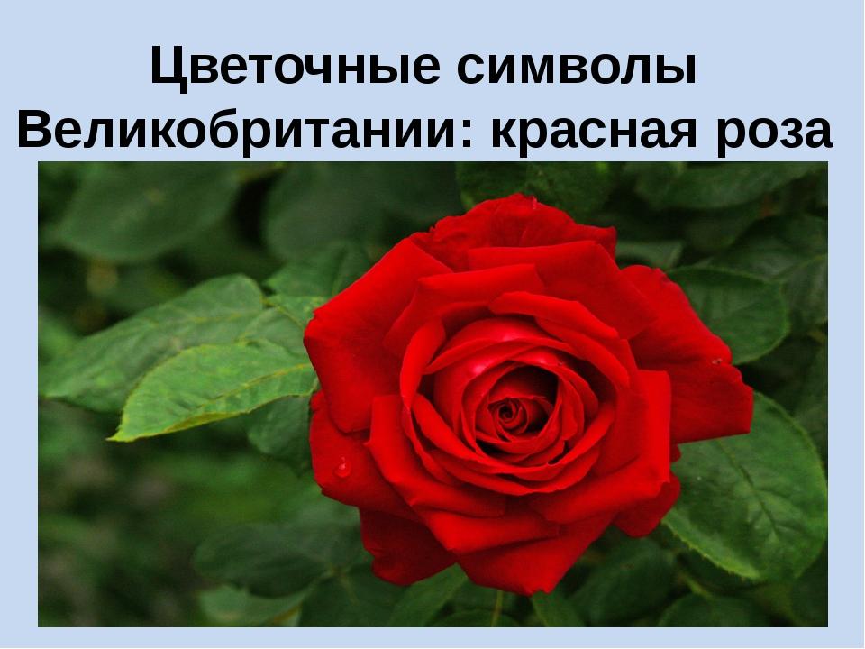 Цветочные символы Великобритании: красная роза Англии