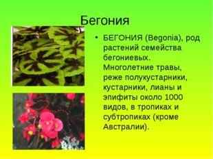Бегония БЕГОНИЯ (Begonia), род растений семейства бегониевых. Многолетние тра