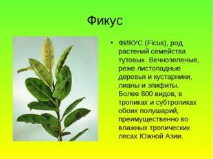 Фикус ФИКУС (Ficus), род растений семейства тутовых. Вечнозеленые, реже листо