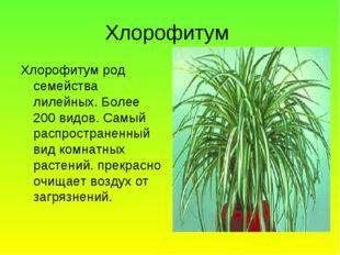 Хлорофитум Хлорофитум род семейства лилейных. Более 200 видов. Самый распрост