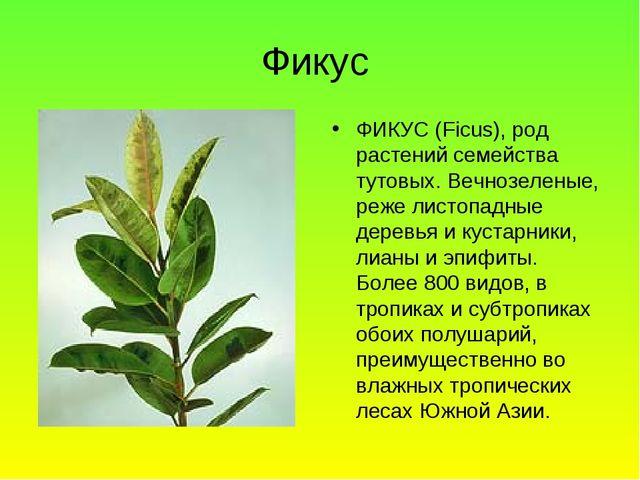 Фикус ФИКУС (Ficus), род растений семейства тутовых. Вечнозеленые, реже листо...