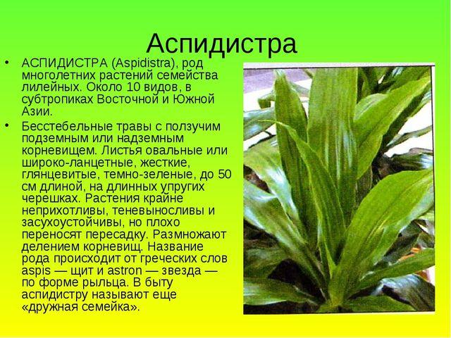 Аспидистра АСПИДИСТРА (Aspidistra), род многолетних растений семейства лилейн...
