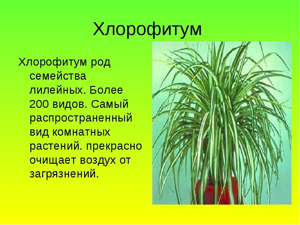 Хлорофитум Хлорофитум род семейства лилейных. Более 200 видов. Самый распрост...