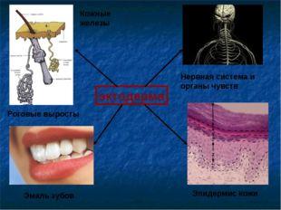 эктодерма Нервная система и органы чувств Эмаль зубов Эпидермис кожи Кожные ж