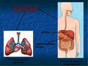 энтодерма Эпителий органов дыхания Эпителий органов пищеварения печень поджел