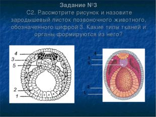 Задание №3 С2. Рассмотрите рисунок и назовите зародышевый листок позвоночного
