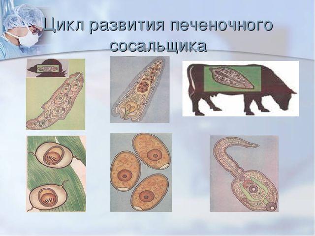 Цикл развития печеночного сосальщика