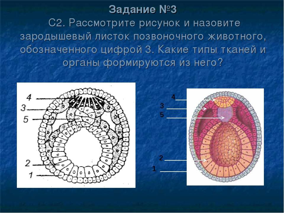 Задание №3 С2. Рассмотрите рисунок и назовите зародышевый листок позвоночного...